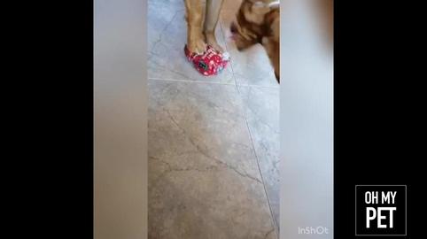Xena abriendo su regalo #OhMyPet